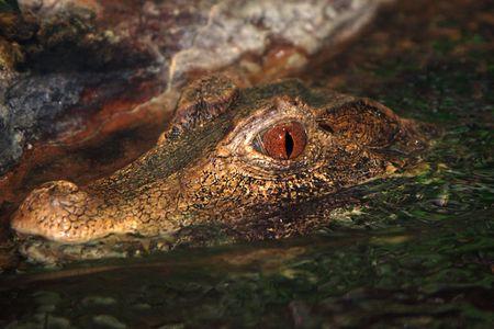 Caiman (Caiman Crocodilus) Paleosuchus