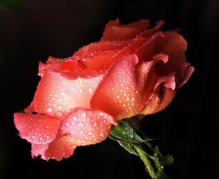 Maria Stern rose, misted.  版權商用圖片