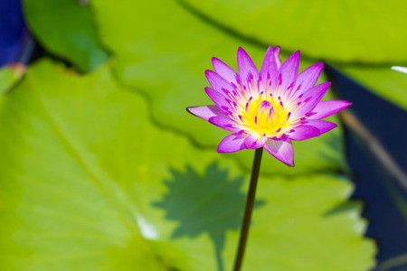 yellow stamens: Beautiful fresh purple lotus blossom  with yellow stamens in pond under bright sunlight