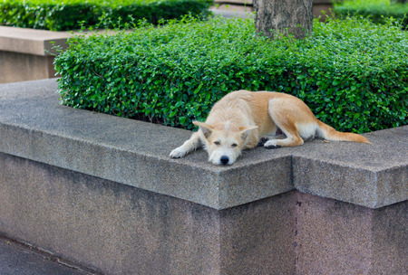fatigued: Brown dog looking away and lying in park
