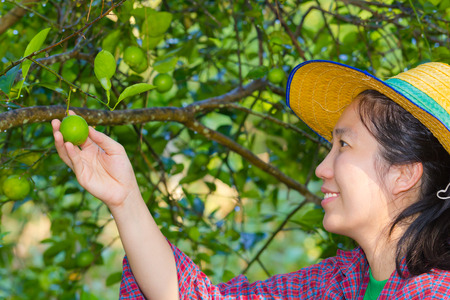 Asian woman (thai) agriculturist hand holding fresh lemon from tree branch, in the vegetable garden