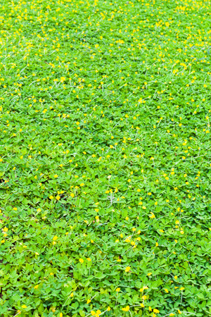 yellow blossom: Green clover and yellow blossom background, shallow depth of field (DOF)