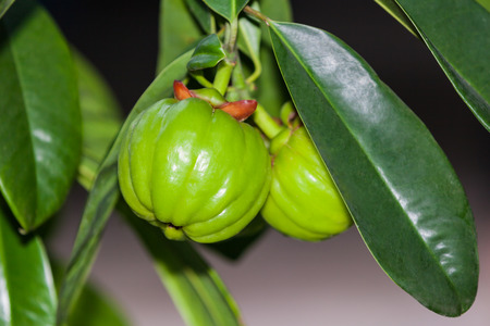 Garcinia atroviridis fresh fruit hanging from a tree in an orchard. Garcinia is thai herb (south of Thailand) and sour flavor lots of vitamin C. Extract as a weight loss product Stock Photo