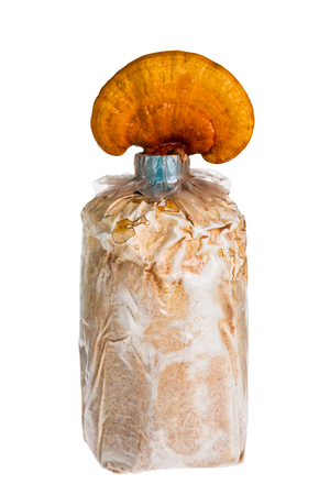 nutritive: Lingzhi mushroom, Ganoderma lucidum in nursery bag, isolated on white background, Chinese traditional medicine (nutritive value). Stock Photo