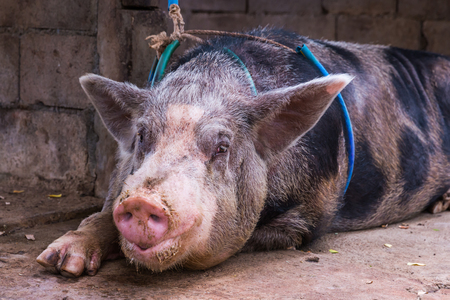 tethered: Close up domestic big pig with tethered in a farm Stock Photo