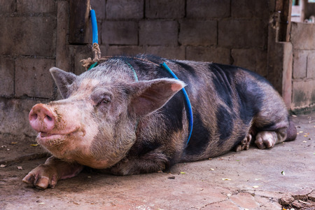 tethered: Domestic big pig with tethered in a farm