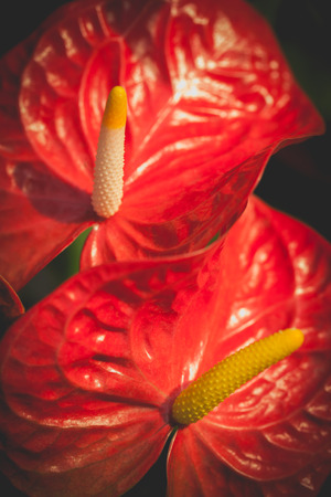 spadix: Macro shot of beautiful spadix. Vintage natural floral background, shallow depth of field (dof). Low key picture style. Stock Photo