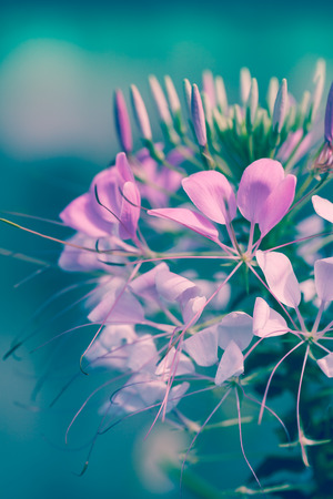 cross process: Pink flowers on natural background. Beautiful floral use as background. Shallow depth of field (dof), selective focus. Outdoors. Cross process picture style.