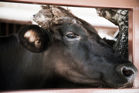 macro animals: Close up face of black ox in a stable. Head of cow shoot in farm.