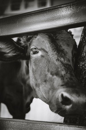 ox eye: Close up face of black ox in a stable. Head of cow shoot in farm. Black and white picture style. Stock Photo