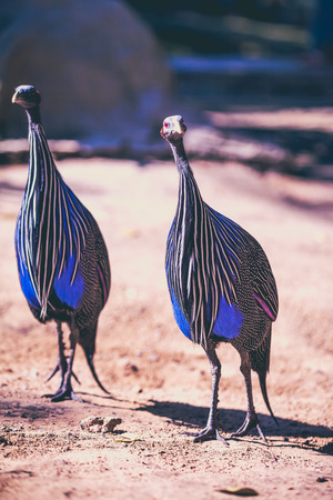 black plumage: Pair of beautiful vulturine guineafowl with pretty blue & white feathers with spots. Acryllium vulturinum has a blue face and red eyes and the plumage is of cobalt blue,black & white. Outdoor  in the zoo on summer day. Selective focus. Stock Photo