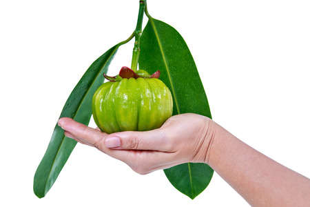 citric: Garcinia cambogia fresh fruit on human hand, isolated on white. Garcinia atroviridis is a spice plants. It helps in the metabolism contain high vitamin C and hydroxy citric acids (HCA) for good health Stock Photo