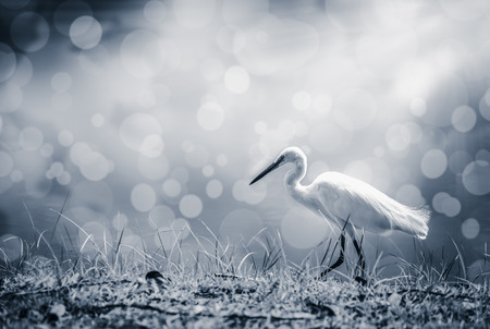 Animals in wildlife. Side view of white egret walking with sunlight on blurred abstract colorful bokeh background, long neck bird. Outdoors. Black and white picture style. Stock Photo