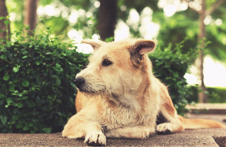 friendless: Stray dog with sad eyes looking away and lying in park. Vintage effect tone.