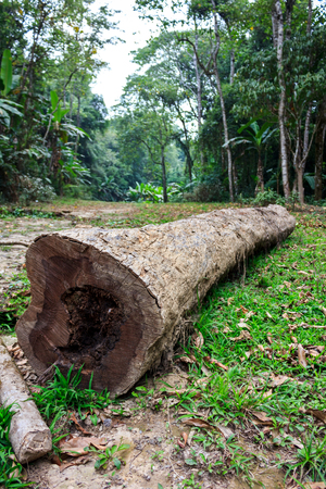 deforestacion: The trunk of a fallen tree in a green forest. Deforestation or global warming concept, environmental issue. Outdoor on summer day.