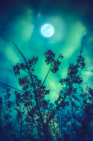 Silhouette of Wild Himalayan Cherry flowers against night sky and full moon over tranquil green nature background. Thailands sakura or Prunus cerasoides. The moon were NOT furnished by NASA.