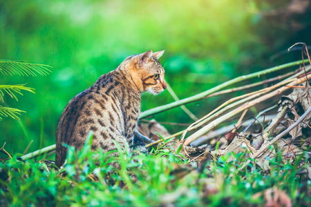 Pretty bengal cat look for food and gaze on something in forest. Outdoor at daytime with bright sunlight. Animal life on nature green background.