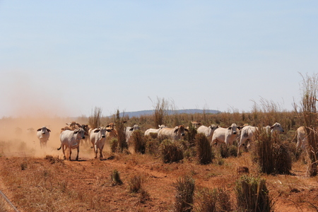 Brahman cattle running the fence line, Northern Territory Australia