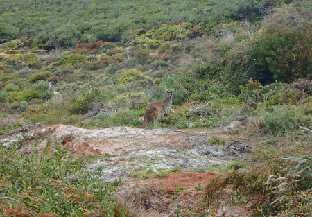 Kangaroo in scrub land