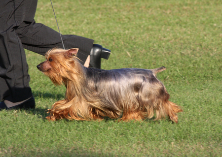 Dog being shown at pace at a dog show Stock Photo