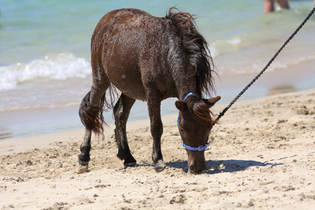 Miniature horse at the beach on a sunny day Stock Photo