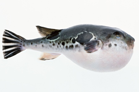 Fugu on a white background    Stock Photo