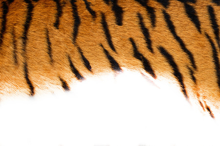 Tiger skin on white background.Natural texture for the design of your banner. photo
