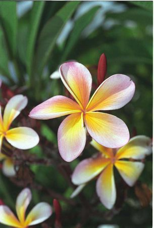 Rainbow Plumeria