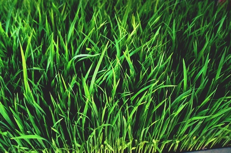 ricefield: Rice field wallpaper