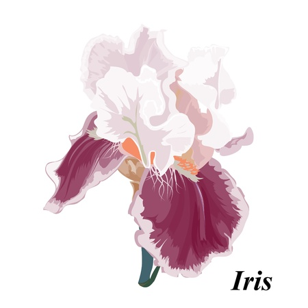 Vector drawing of a flower - a bearded iris. Background with a flower for the design.Beautiful Iris.