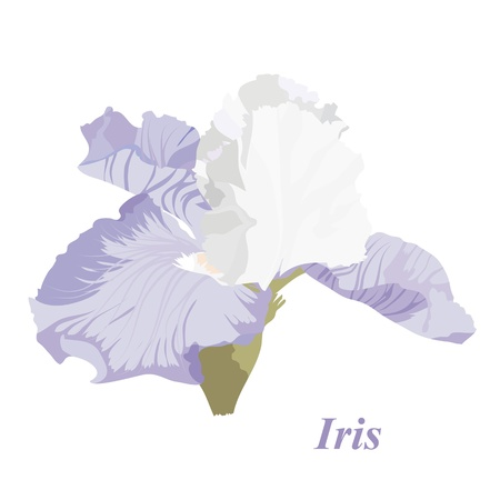 Vector drawing of a flower  iris. Background with a flower for the design. Delicate iris. Illustration