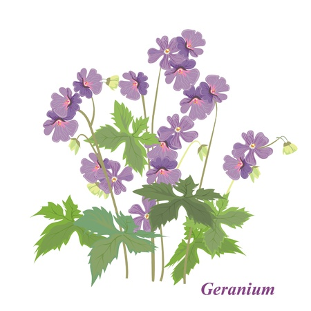 Vector drawing of a flower - geranium. Background with a flower for the design.Bush geranium. Vettoriali