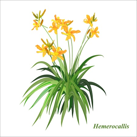 The vector drawing of a flower. Hemerocallis - wonderful flower. Illustration