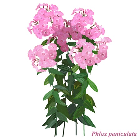 Autumn flower -  Phlox  paniculata. A separate bouquet of flowers for the design.