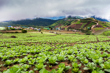 Chinese cabbage field in rural life at Phu tubberk, Thailand. Stock Photo