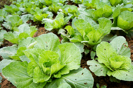 Chinese cabbage field in rural life at Phu tubberk, Thailand. photo