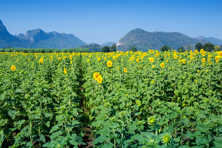 Yellow field of sunflowers and blue sky, Lop Buri, Thailand Stock Photo