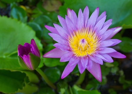 Purple lotus in bud and bloom. photo