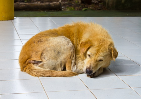 Scabies dog lying on the tiled floor. Stock Photo