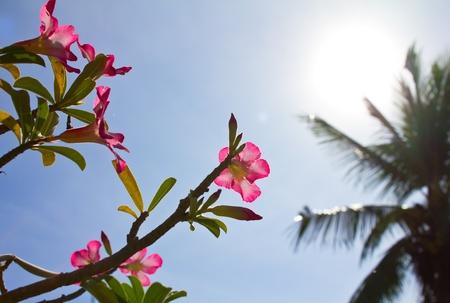 Adenium flower under the sunshine. photo