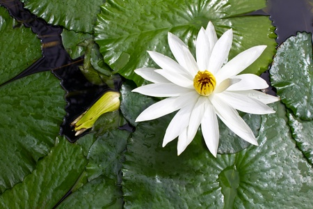 White lotus grows in the pond and died. photo