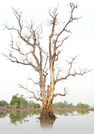 arbre mort: Les arbres morts et secs dans l'environnement, caus�s par le r�chauffement climatique.