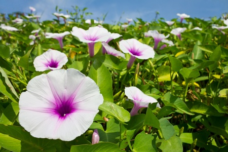 Morning glory flowers are white mixed with purple stock photo morning glory flowers are white mixed with purple stock photo 11305218 mightylinksfo