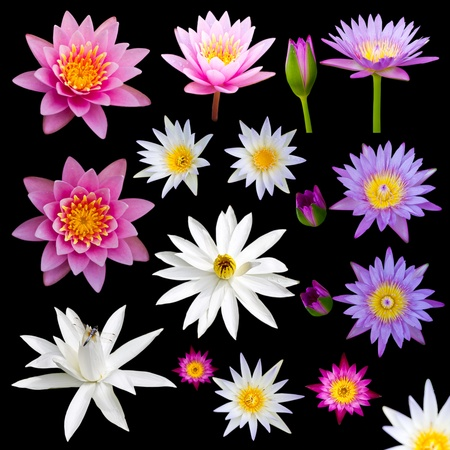 Many colorful lotus flowers on a black background. Stock Photo