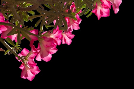 Many pink Adenium flowers on a black background. photo