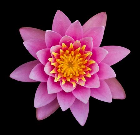 Pink lotus on a black background. Archivio Fotografico
