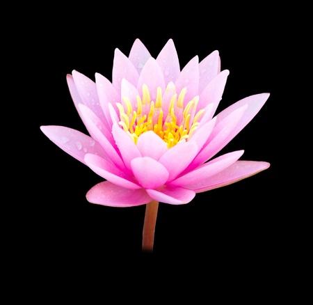 Beautiful pink lotus on a black background. photo