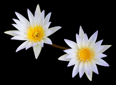 White lotus is Second flower on a black background photo