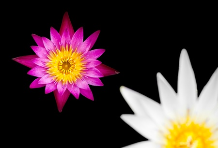 Purple and white lotus on a black background. photo