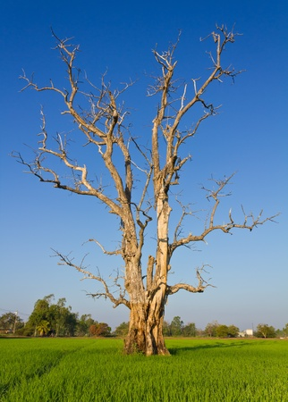 Dried dead trees, which are often seen in paddy fields of Thailand.